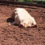 A Visit To Poplar Springs Farm Animal Sanctuary